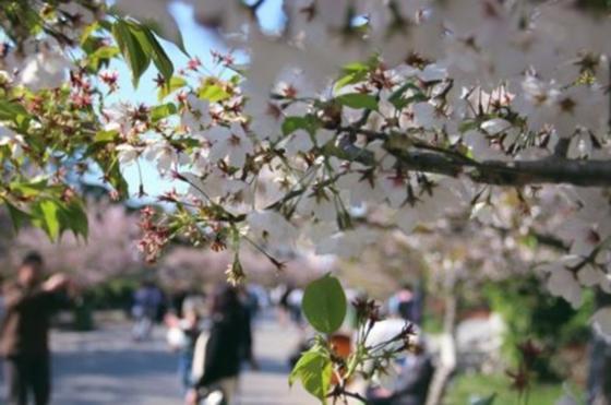 青岛日报/青岛观/青报网讯 记者6日从市城市管理局城市园林局获悉,中山公园樱花已于4月5日初开,预计4月8日起进入盛花期。市民游客本周末可走出家门游园赏樱,感受春的气息。    中山公园樱花绽放。傅学军 摄   作为岛城最负盛名的赏樱地点,中山公园共有樱花2000多株,其中单樱占了大部分。最近几天,我们每天都能接到不少市民询问樱花开放时间的电话。中山公园相关负责人告诉记者,由于今年气温较高,樱花开放时间较往年稍早,清明小长假后首日就就零星开放。   经过一夜积蓄,开花比例进一步加大。昨日上午,记者在