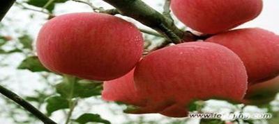 东大寨苹果.png