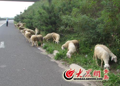 羊群排队上青兰高速悠闲吃得欢 公路成牧场