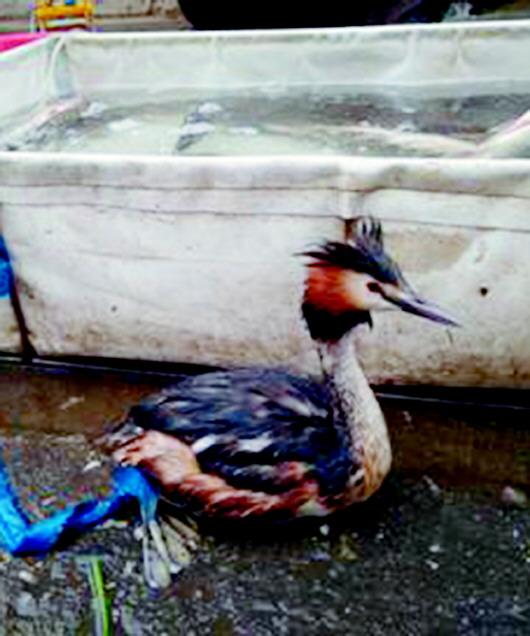 重点保护动物也敢卖 鱼贩售卖凤头�G�f被调查