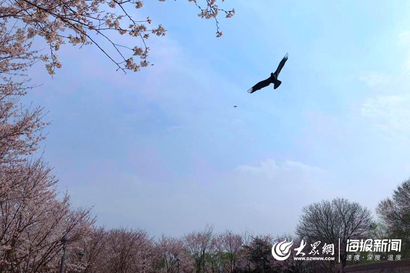 邂逅醉美春天 济南滨湖广场樱花烂漫绽放 勾勒春日美景图